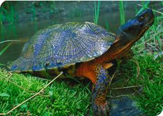 Wood turtle - isn't he beautiful?