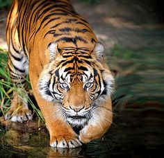 Animal Planet's upcoming documentary series on the Royal Bengal tiger a must-watch