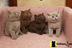 chocolate colored cats - Yahoo Image Search Results