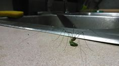 Daddy Long Legs dining on a stink bug at staff kitchen (after hours, of course)