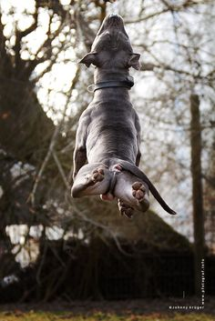 takeoff by Johnny Krüger on 500px an american staffordshire bull terrier captured in a different and special angle.. this guy had so much power and an intense will to move. This pic was made in an animal shelter in order find a new home for Mogli and I want to show it because it is very special.