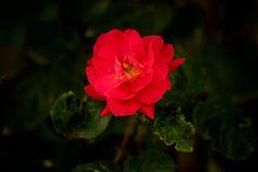 China Rose ( rosa chinensis)