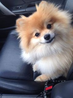 Puppy Pomeranian