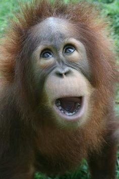 Metro Richmond Zoo, RVA, 'Farley' the Orangutan.