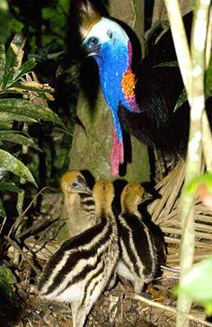 Cassowary, Daintree rainforest http://www.executiveretreats.com.au/