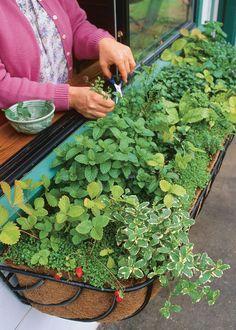 kitchen herb windowbox. Window Box Flowers, Window Boxes, Garden Beds, Garden Plants, Landscaping Plants, Garden Spaces, Vegetable Garden, Railing Planters, Types Of Herbs