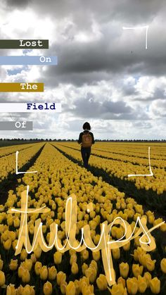 Netherlands field of tulips story