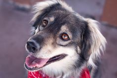 © Heather Binnie Photography | Daily Dog Tag | Adoptable Siberian Husky Mix from Tucson Cold Wet Noses