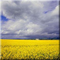 Field of beautiful yellow flowers, Scotland.