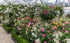 This year's Chelsea Flower Show rose garden features an impressive pergola walkway, offset by soft rose hedges. Rose Hedge, Chelsea Flower Show 2018, Standard Roses, Rhs Hampton Court, Rose Care, Shrub Roses, David Austin Roses, Planting Roses, Garden Features