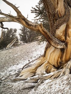 Bristlecone Pines - our planet's oldest living organisms #Image #Landscape | Kozzi Images | Royalty Free Stock Images for just $1