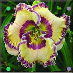 New 100 Pcs/Bag Fresh Rare Hybrid Daylily Flowers Hemerocallis Lily Indoor Bonsai Home Garden Supplies for Flower Pot Exotic Flowers, Amazing Flowers, Beautiful Flowers, Tropical Flowers, Colorful Flowers, Beautiful Things, Daylily Garden, Plantation, Day Lilies