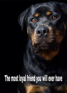 - Rottweiler breeds have been misunderstood, and they are definitely not the vicious creatures that people think they are. In fact, they are extraordinarily loyal dogs that can be easily trained and integrated into your home. Cute Cats And Dogs, Big Dogs, I Love Dogs, Beautiful Dogs, Animals Beautiful, Cute Animals, Rottweiler Dog Breed, Rottweiler Facts, Guard Dog Breeds
