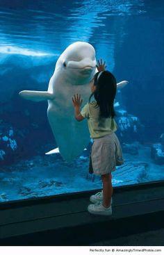 Amazingly Timed Photos   Belugas like making new friends