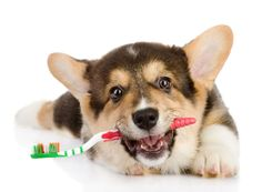 Do you brush your dog's teeth? With February being Canine Dental Health Month, we wanted to take a closer look at why keeping your pup's mouth clean can do more for his health than just freshen his breath. Read more at http://blog.smartpakequine.com/2013/02/protect-your-dogs-pearly-whites/ to learn how to protect your dog's pearly whites!