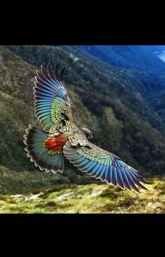New Zealand Kea is a large species of parrot, about 19 long, found in forested & alpine regions of the S Island of NZ. Kea is known for their intelligence All Birds, Birds Of Prey, Love Birds, Pretty Birds, Beautiful Birds, Animals Beautiful, Exotic Birds, Colorful Birds, Bird Pictures