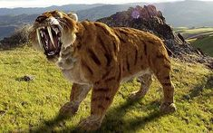 Sabre-tooth tiger: the fossil is the furthest north evidence of this species has ever been found