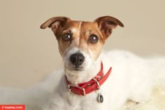 San Francisco Dog Photographer - Jack Russell Terrier | Nuena Photography by Kira Stackhouse #dog #jackrussellterrier #studio #cute #petphotography #sanfrancisco #callie #kirastackhouse #nuena