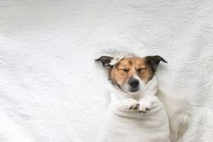 Haha! Cute and funny. Snuggles the Jack Russell gets the infant photoshoot treatment.