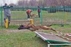 Malinois are super dogs Berger Malinois, Belgian Malinois Dog, Malinois Puppies, Military Working Dogs, Military Dogs, Guard Dog Breeds, Belgium Malinois, Dog Soldiers, Wow Photo