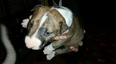 "Brindle Bull Terrier 3 weeks old Rare Diamond by Muzzleflash ""Shotgun"""