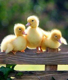 Fuzzy little ducklings