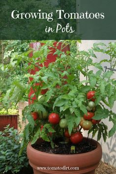 Grow Organic Tomatoes Growing tomatoes in pots: the basics about container tomatoes with Tomato Dirt Patio Tomatoes, Growing Tomatoes Indoors, Tips For Growing Tomatoes, Growing Tomato Plants, Growing Tomatoes In Containers, Large Containers, How To Grow Tomatoes, Growing Vegetables In Pots, Potted Tomato Plants