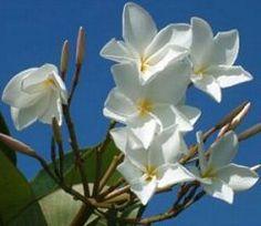 Valley Of The Sun Plumeria Society - Wintering Plumerias