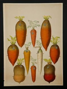 Antique Scandinavian carrot gravure. Kitchen Art.