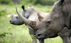 South Africa's First Legal Rhino Horn Auction Threatens Conservation Efforts Asian Elephant, Baby Elephant, Rhino Poaching, Ivory Trade, Network For Good, Spy Camera, Rhinoceros, Zoology, Endangered Species