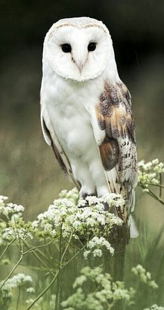 """[Barn Owl with Queen Anne's Lace] * * """" A human who-o-o doubts demself shouldn'ts haz to try too hards, fer too longs, nots until dey be seasoned."""" ------------------------------- [Stephan King - The Stand"""
