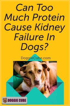 Some dog owners think that too much protein can cause kidney failure in dogs. So they restrict the amount of dog protein in their pet's diet for fear that it may affect their health. So is this something to worry about or is it just a myth? Find out more. Dog Nutrition, Dog Diet, Kidney Failure, Guide Dog, Medical Problems, Dog Care Tips, Homemade Dog Food, Nutritious Meals, Dog Grooming