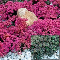 "Sunsparkler™ Sedum Dazzleberry Late-summer color to front of your perennial border or drought-proof garden w this compact-growing ground cover Sedum! In spring, smoky blue-gray foliage forms colorful ground cover mound only 8"" tall & > 18"" wide. Raspberry-colored flower heads come in late sum & are visible from over 200 ft away! These brilliant blooms remain colorful for over 7 wks & make excellent long-lasting cut flowers. Grows 6-8"" tall.  Zones 4-9. Deer tend to avoid."
