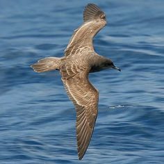 Puffinus pacificus (Wedge-tailed shearwater)                 Keilstertpylstormvoel