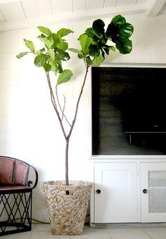Ficus Lyrata aka Fiddle Leaf Fig Tree