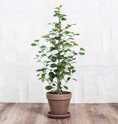 The Best Indoor Plants for Your Office or Home Green Garden, Green Plants, Potted Plants, Indoor Plants, Bonsai, Fresco, Growing Greens, Plants Are Friends, Ficus