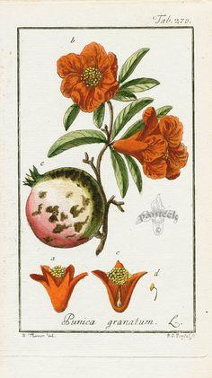 J. Zorn - Punica Granatum, Pomegranate, 1779-1790