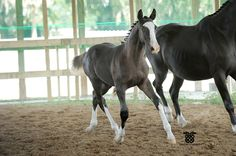 This is one of the nicest warmblood foals I have seen. The photographers watermark is on the picture =]