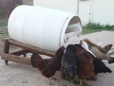 Chicken feeder/composter. The larva grow in the compost inside, are naturally inclined to crawl up the ramp when big enough, and fall into the trough for the chickens to eat.