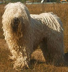 Komondor dog breed facts, information, and pictures. Also known as mop dog due to its long shaggy cords or dreadlocks. Unusual Dog Breeds, Rare Dog Breeds, Best Dog Breeds, Chien Komondor, Protective Dog Breeds, Mop Dog, Hungarian Dog, Dog Breeds That Dont Shed, Giant Dogs