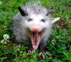Smile! The mouth of an opossum holds an impressive 50 teeth. www.floridawildlifebusters.com