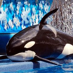 Seaworld Orlando Orcas! This is Kayla! Her name means Pure. She is a captive born orca, her mother being Kenau, and her father being Orky 2. She is currently 27 years old as of 11/26/15. An easy way to ID Kayla is to look at her dorsal fin. It is flopped over, but not as far as Katina's.