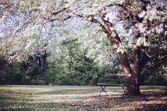 Flowering Tree, Park Bench, Bench