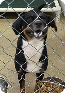 UPDATE- ADOPTED! Zanesville, OH - Terrier (Unknown Type, Medium) Mix. Meet 39108 Carmen, a dog for adoption. http://www.adoptapet.com/pet/11273392-zanesville-ohio-terrier-unknown-type-medium-mix