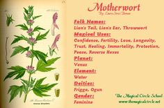 Motherwort Magical Properties - The Magical Circle School - www.themagicalcircle.net