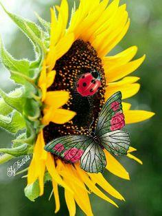 My beautiful sunflower samantha Sunflower Garden, Sunflower Art, Sunflower Tattoos, Sunflower Fields, Yellow Sunflower, Yellow Flowers, Sunflower Clipart, Sunflower Wallpaper, Butterfly Wallpaper