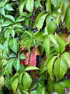 Parthenocissus inserta -  közönséges vadszőlő