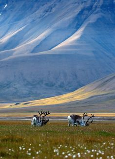 Reindeer of Svalbard (Rangifer tarandus platyrhynchus) in Adventdalen - Norway
