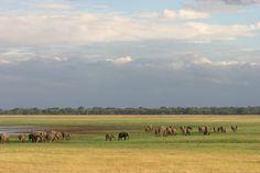 Elephant herd Minneriya