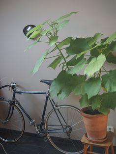 My #Home  Autumn Leaves: My Indoor #Plants | Sparrmannia africana | Kamerlinde